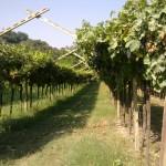 druivenstruiken